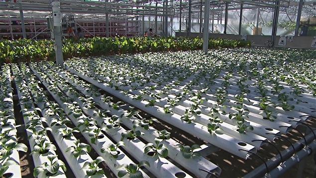 Les légumes des Fermes Lufa sont produits dans deux serres situées sur des toits d'édifices à Montréal et à Laval.