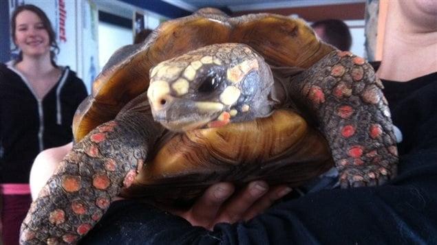 La tortue Solange, âgée d'environ 18 ans, a été sauvée de l'incendie.