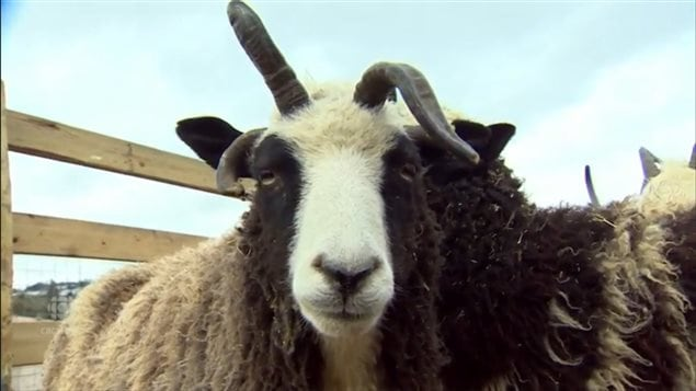 Jacob sheep were mentioned in the Bible, but have long since disappeared from Israel. A British Columbia couple hope to send a herd to Israel in July to reintroduce the historic-heritage species to that country.