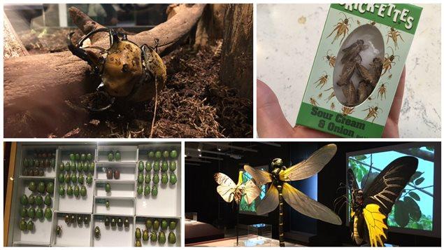 Mangeriez-vous des insectes? Le Musée de la nature d'Ottawa vous offre cette possibilité dans le cadre d'une exposition consacrée à ces petits animaux invertébrés.