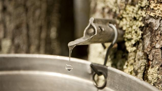 Il faut plusieurs litres de sève d'érable pour produire du sirop.