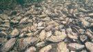 Les huîtres menacées par l'acidification