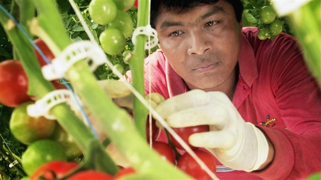 Migrant worker Horacio Gallegos harvested tomatoes in Ontario in May 2002 and sent money back to his family in Mexico.