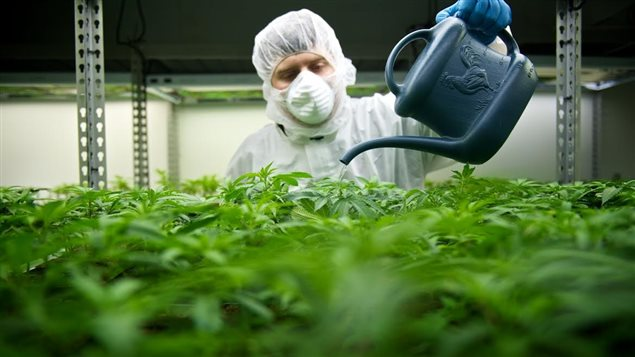 la marijuana de l'entreprise Tilray