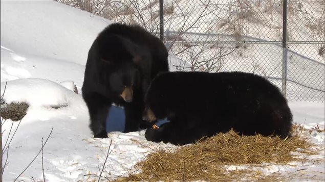 Juno, the orphan bear, and Genie, who was born in a zoo, are safely enclosed at the Ecomuseum near Montreal. They and bears in the wild are coming out of hibernation and are hungry.