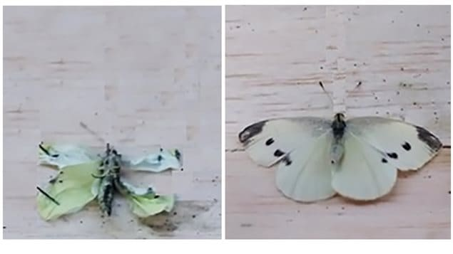 Example of cabbage butterflies (pinned to insect boards) fed experimental diets 48 hours after emergence: butterfly with deformed wings (left panel, 100% EPA + DHA diet) compared to a butterfly with intact wings (right panel, control diet).