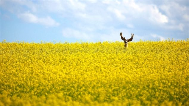 A stag stands in a neck-high field of canola north of Cremona, Alta. The fungicide difenoconazole is increasingly used on cereal, oilseed and vegetable crops in Canada. The majority of Canadian canola has been genetically engineered to withstand herbicides, but a new genetic development will enable canola and camelina to produce omega-3 fatty acids within them.
