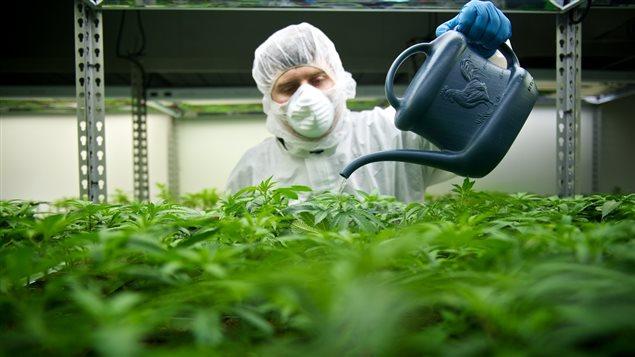 Un employé de l'entreprise Tilray arrose des plants de cannabis qui sont produits à des fins de consommation médicale.