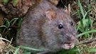 De la glace sèche pour venir à bout des rats