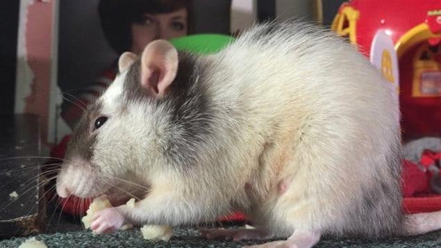 Les rats de Charmaine Benson sont « raffinés », soutient-elle.