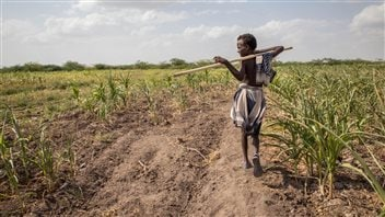 On Jan 26, 2016, a young Ethiopian boy walks through crops ravaged by drought. El Nino has brought drought to many regions causing food shortages and humanitarian crises.