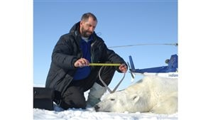 Professor A.E. Derocher taking measurements from a polar bear in the Beaufort Sea near Tuktoyaktuk, NWT, Canada April 25, 2009.