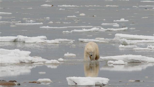 A polar bear walks onshore along the coast of Hudson Bay near Churchill, Manitoba, autumn 2012.