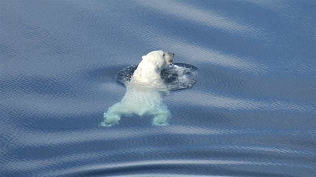 Polar bear swimming in the Beaufort Sea, near Tuktoyaktuk, NWT, Canada April 27, 2009. The bears can swim for long distances, but prefer not to as it uses up vital energy resources.