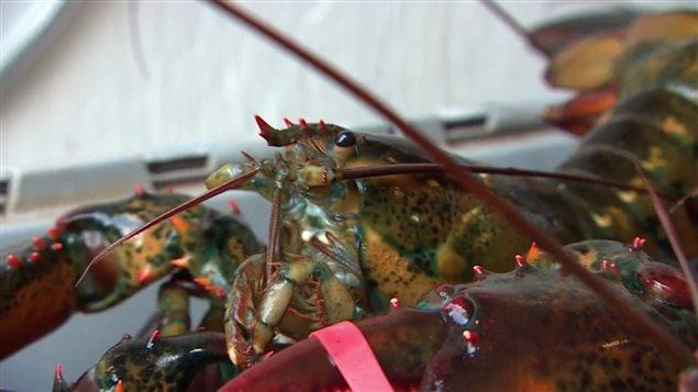 Un homard pêché en Nouvelle-Écosse.