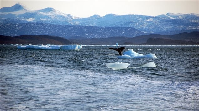 A whale dives into sea off the coast of Greenland's capital Nuuk October 17, 2012. Alistair Scrutton/REUTERS