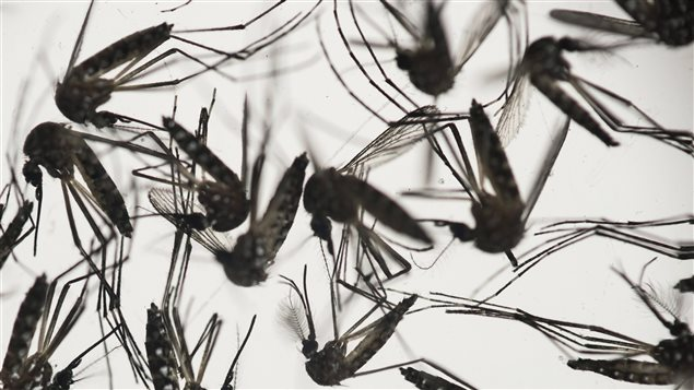 Canadian winters are too cold for the mosquito that carries Zika, at least for now.