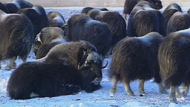 A type of bacteria (erysipelothrix rhusiopathiae) usually found in pigs and poultry was discovered for the first time in muskox in 201o on Victoria Island ant then on Banks Island, It is since believed it is responsible for some of the mortality in the populations in the Arctic.