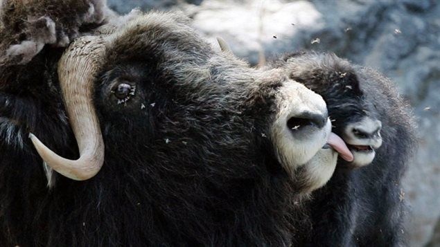 the only large ruminant in the high Arctic, the muskox has adapted well to the harsh conditions. Those conditions are changing rapidlly and new science is looking at how a changing climate is changing their diet.