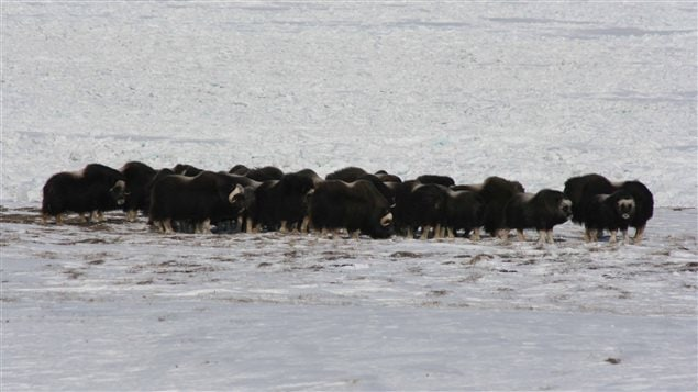 2008 Muskox on Herchel Island in the Canadian high Arctic