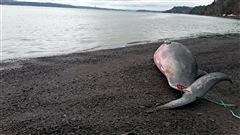 Une carcasse de petit rorqual a été retrouvée échouée sur la grève dans le secteur Saint-Nicolas, hier après-midi. Détails avec Josiane Cabana du Réseau québécois d'urgence pour les mammifères marins