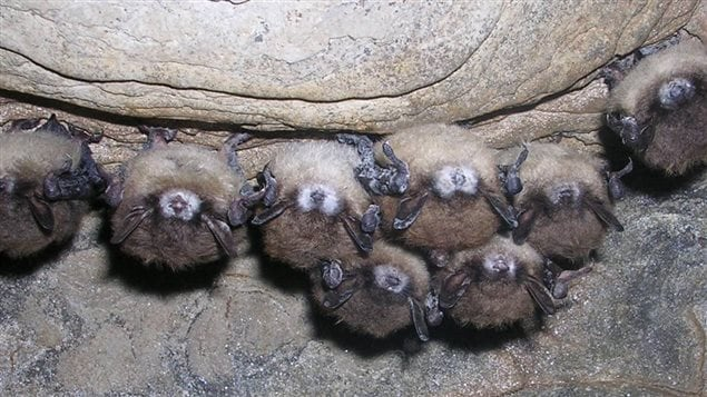Fungus showing on muzzles of infected bats. Literally millions of bats have died  in eastern North America from white nose syndrome (WNS)