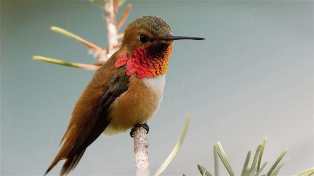 Oiseau de la Colombie-Britannique