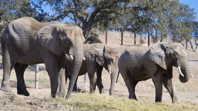 More and more circus and zoo animals are being sent to wide-open spaces. Here we see three female African elephants, whose former residence was the Toronto Zoo, spending their first day at the Performing Animal Welfare Society's ARK 2000 sanctuary in San Andreas, California in 2013. We see three grey elephants (large ones on either side of a smaller one in the middle) looking peaceful as they walk on grass with trees rising in the background.