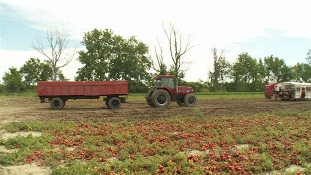 Un campo de cultivo de tomates en Leamington, Ontario.