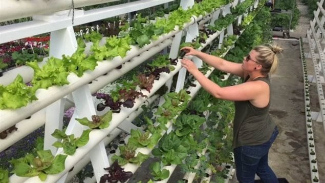 Kelsey Metropolit de Yukon Gardens regarde ses salades hydroponiques.