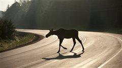 Un jeune caribou sur une route