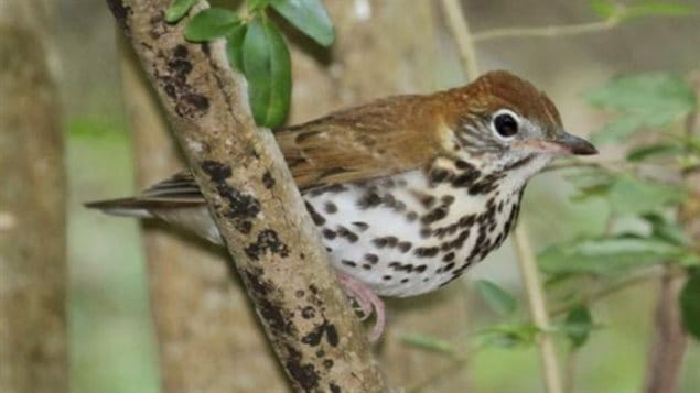Once one of the most common forest birds in eastern North America, the wood thrush has decreased by almost 70% in the last 40 years. Wood thrushes and many warblers breed in Canada's forests, but winter in tropical forests of Mexico that are threatened by logging.