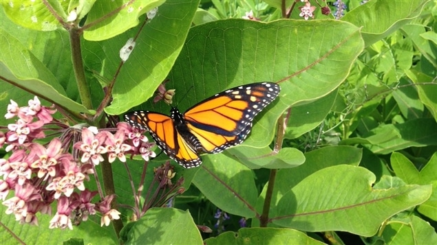 Un papillon monarque sur une fleur d'asclépiade