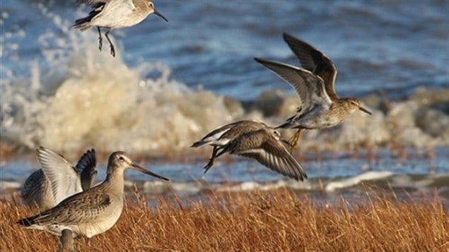 oiseaux-limicoles