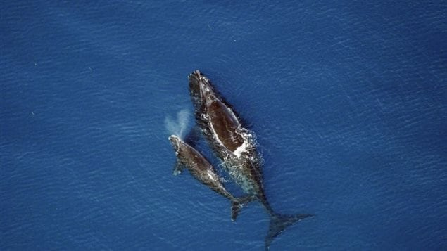 Right whale and calf. US scientists again write an open letter to US President Obama against ocean seismic tests.