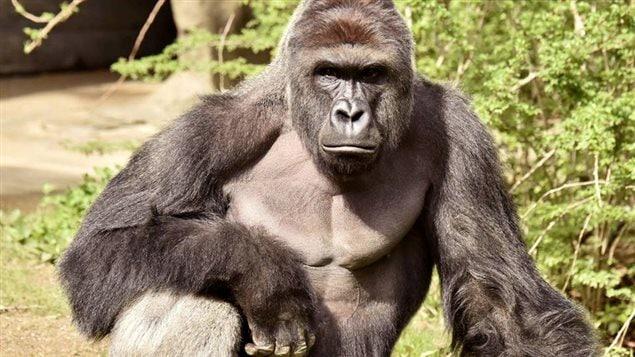 Le gorille Harambe, qui a été abattu au zoo de Cincinnati