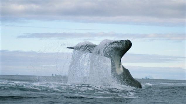 弓头鲸在靠近俄国火箭将坠落的北极水域嬉戏