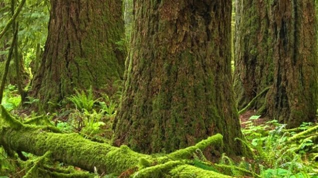 Old Growth Forests In Trouble BC Expert