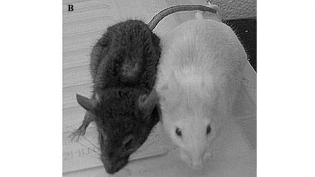 TGM mice at 12 months, Supplement fed mouse on right shows vibrant health and alertness: non-supplement mouse left shows hunching and wasting of fur coat.