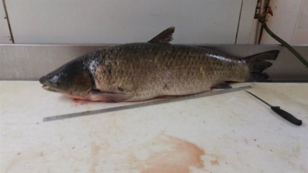 Two fisherman caught this carp downstream from Montreal on May 27. Biologists from the Quebec government were glad the fisherman caught it, but were very unhappy to see it in the area as it is an invasive Asian grass carp.