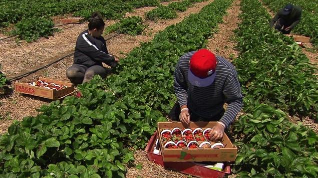 Des travailleurs étrangers dans un champ de fraises du Québec.
