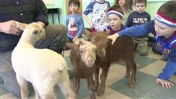 While kids may love farm animals, activists say too many Canadians are taking sexual advantage of some of those animals. We see several kindergarten-aged kids petting three brown and white lambs.