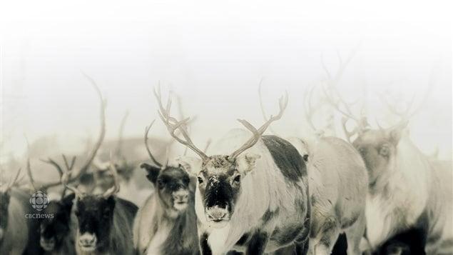 Un troupeau de caribous.