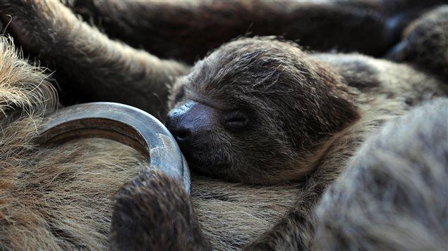 Un paresseux âgé de six semaines se repose sur sa mère dans un zoo à Budapest.