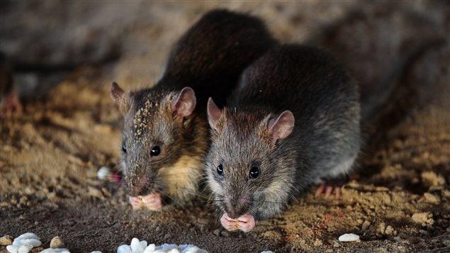 Deux rats en libert�, l'un � c�t� de l'autre
