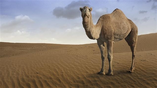 Un dromadaire (et non un chameau)