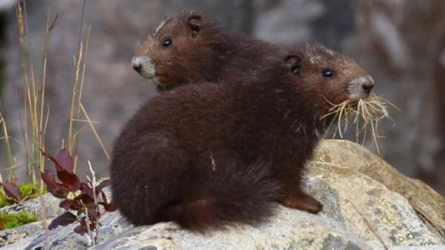 The marmots of Vancouver Island have a group of people dedicated to protecting them and encouraging their numbers.
