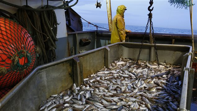 A new report urges Canada to drastically change how it manages its fisheries to rebuild its depleted fish stocks.