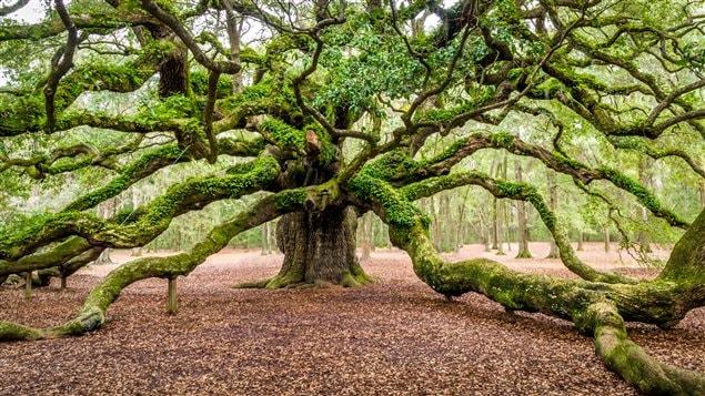 Cet arbre aurait près de 1500 ans.