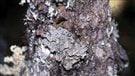 Nouvelle-Écosse: un lichen menacé serait sur le point de disparaître